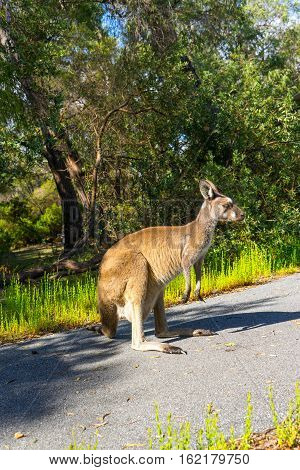 Kangaroo Walpole Australia standing in the middle of road.