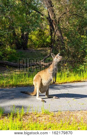 Kangaroo Walpole Australia standing on the road .