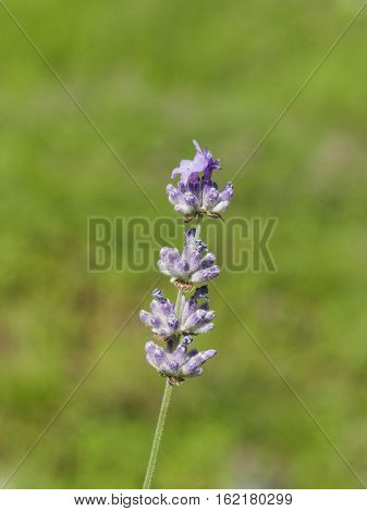Lavender Lavandula angustifolia flowers on stem macro with bokeh background selective focus shallow DOF