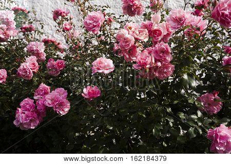 a rose bush full of pink roses