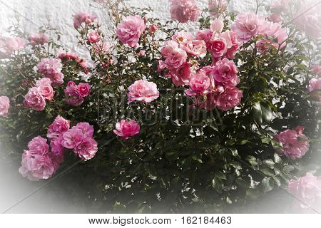 a rose schrub full of pink blossoming roses