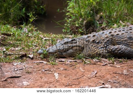 Big specimen of Madagascar Crocodile Crocodylus niloticus madagascariensis Madagascar Vakona Private Reserve. Magagascar wildlife and wilderness poster