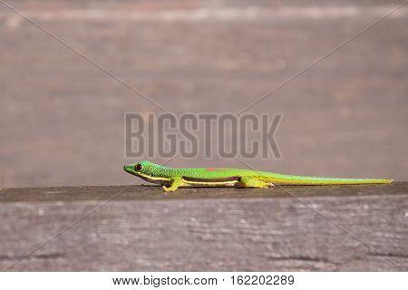 Lined Day Geckos (phelsuma Lineata Lineata)in its natural habitat. Andasibe - Analamazaotra National Park Madagascar wildlife