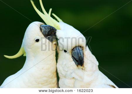 Cockatoos In Love 2
