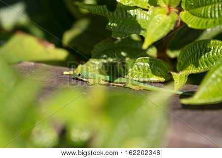 Lined Day Geckos (phelsuma Lineata Lineata)