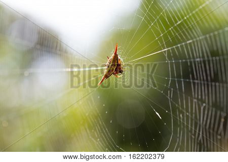 Spiny Orb-weaver Or Crab Spider