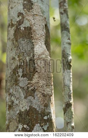 Masked Mossy Leaf-tailed Gecko