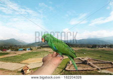 Parrot on hand View fields and skytwo months of Male Eclectus Parrot.
