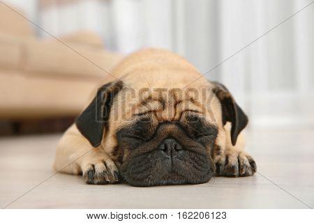 Adorable pug dog lying on floor at home