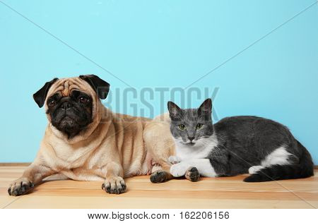 Adorable pug and cute cat lying together on floor
