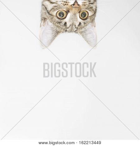Curious cat face looking out over the edge. Cute kitten portrait