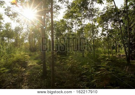 Rubber Plantations, Grass Covered Up The Placenta Is Solid.