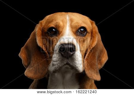 Close-up portrait of Young Beagle dog looking in camera on isolated black background, front view