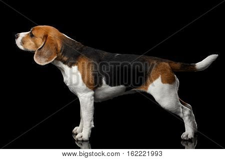 Close-up Young Beagle standing and stretched up on isolated black background, profile view