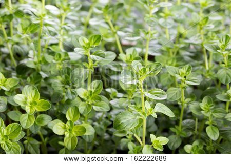 Thyme leaves Culinary herb Thymus vulgaris Food background