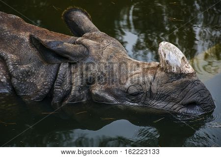 Snout of rhino in the green water
