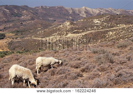 Black And White Goats And Landscape In Kos Island, Rhodes, Greece