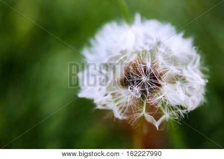 dandelion flower close up with green background