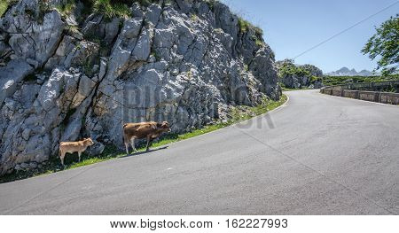 Mountain road with cows in the middle