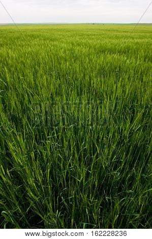 Extensive agrarian wheat field in Valladolid, Spain
