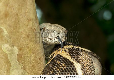 big snake show tongue beside the tree background natural