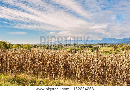 Rural Landscape: Field Of Corn Ready For Harvest. In The Background The Mountains.