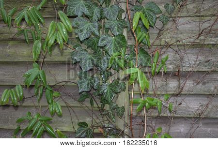 background old dark wood Ivy vines of ivy green leaves
