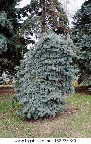 Young fir tree in the city park