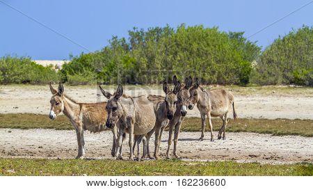 Domestic donkey in Kalpitiya, Sri Lanka ; specie Equus asinus family of equidae