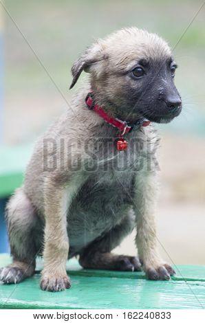 A Tiny Puppy Of Belgian Shepherd