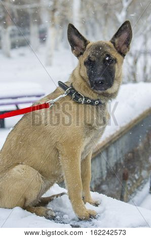 "Puppy Belgian Shepherd ""malinois"" Walks In The Park During A Snowfall."
