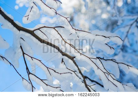 Beautiful winter snowy branches on background blue sky