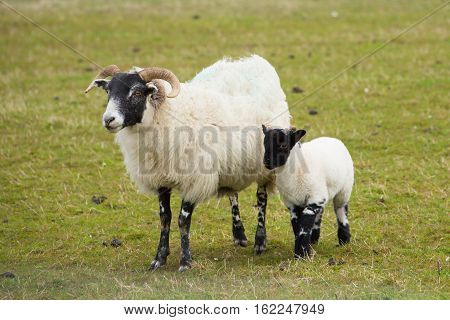 Mother and baby black face sheep isle of Mull Scotland uk with horns and white and black legs