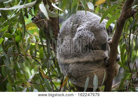 Koala curled up asleep in fork in Gumtree branches Australia