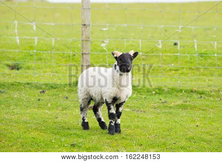 Black face sheep isle of Mull Scotland uk with horns and white and black legs
