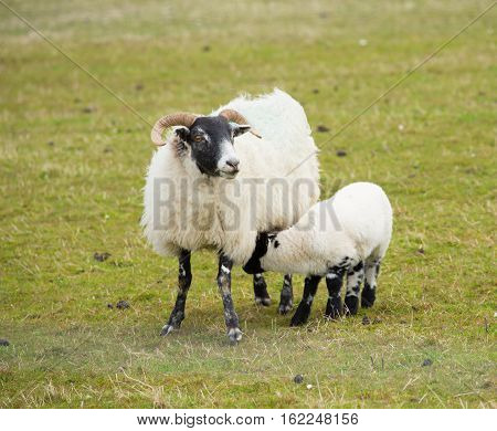 Scottish sheep isle of Mull Scotland uk with horns and white and black legs