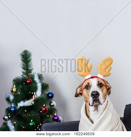 Portrait of dog in christmas reindeer headband in front of fur tree. Puppy sits on sofa covered in throw blanket with masquerade deer horns headband on its head, decorated christmas tree in background