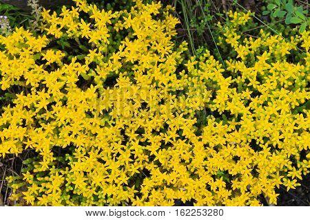 Goldmoss stonecrop (Sedum acre) flowers. Nature background