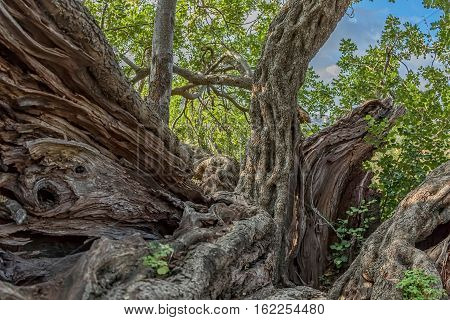Trunk of the very old carob tree in a sunny late autumn day.