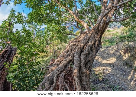 Branch of the very old carob tree in a sunny late autumn day.