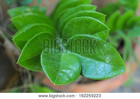 Green plant, zanzibar gem, sprinkled, in the garden
