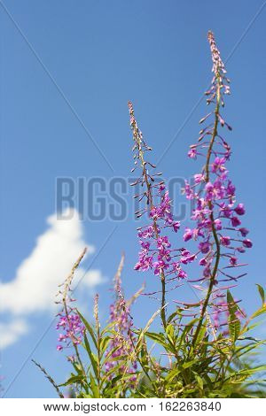 Wildflowers on a background of blue sky blooming in the summer.