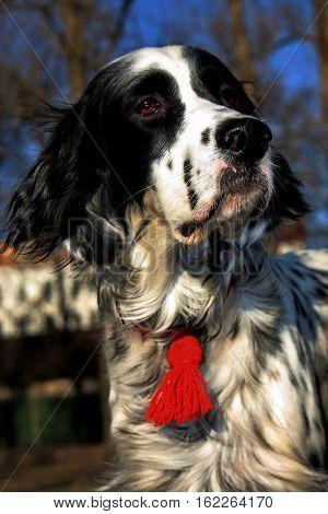 Blue belton pure breed Setter portrait in spring sun light