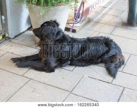 Black Dog Mammal Animal