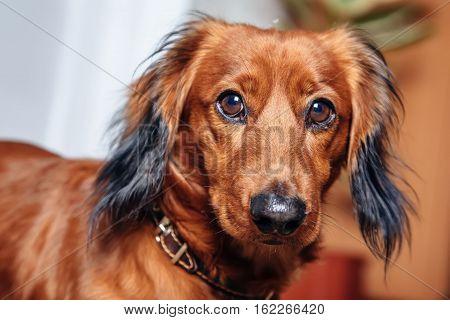 pet portrait dog breed dachshund. horizontal shot