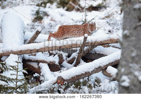 Lynx in the Sumava forests in winter. Eurasian Lynx (Lynx lynx) walking quietly in snow
