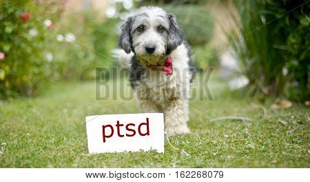 picture of a The cute black and white adopted stray dog on a green grassfocus on a head of dog. card with text ptsd