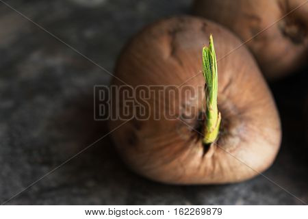 Coconut sapling on the concrete floor- Coconut with a sprout growing out of it