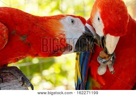 Red Parrots In Love.