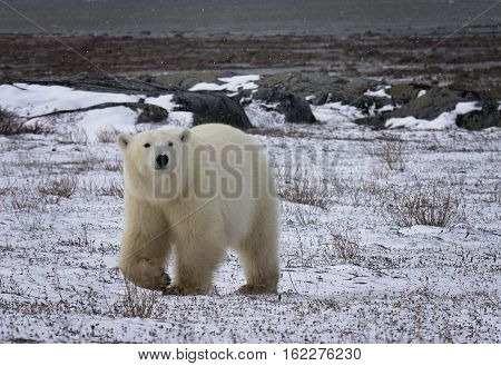 Polar bear sow walking on the frozen tundra at low tide of the Hudson Bay.